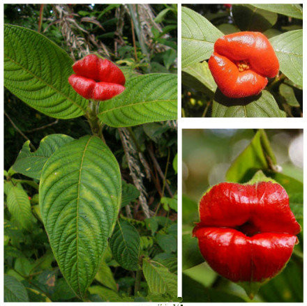 HOT 200 Seeds Lips Flowers Home and Garden Hot Sale!!!