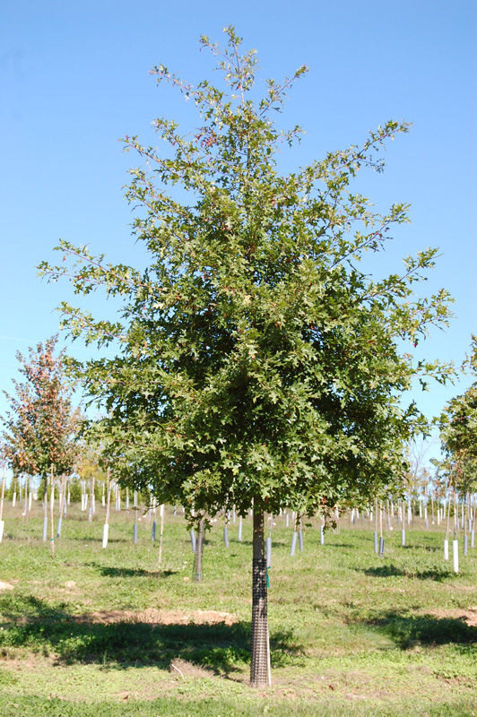 Pin Oak Tree-(quercus palustris)