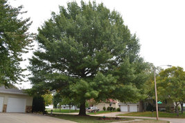 Pin Oak Tree-(quercus palustris) image 4
