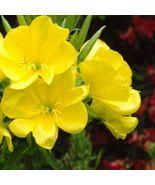 Very Rare 4 Variety Flower Seeds Evening Primrose #IMA47 - $14.99+