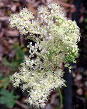 20 Flower Seeds - White Meadowsweet Filipendula Queen of Meadow #SFB15 - $17.99