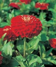 50 Seeds of Zinnia Benary Giant Scarlet Annual - $16.83