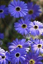 100 Swan River Daisy (Brachychome) Blue Seeds - $7.99