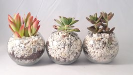 """3 Succulent Terrarium with 4"""" Round Glass / and River Rocks  - $29.99"""