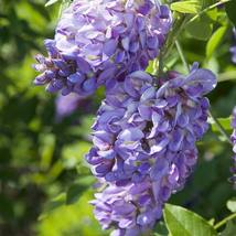 Amethyst Falls Live Plant Wisteria Plant Vine Great for Bonsai - $41.99