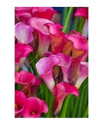 2 Pcs True Pink Calla Lily Bulbs Flower Elegant Symbolizes Love Easy To ... - $2.38