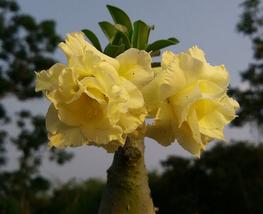 2pcs Beautiful Invincible Eastern Adenium Desert Rose,yellow double petals IMA1 - $14.83