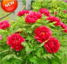 20pcs Rare Red Chinese Peony Flower Seeds Paeonia Suffruticosa Seed - $11.45