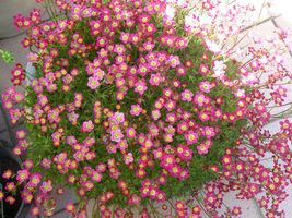 10 Rose Robe Saxifraga Saxifraga Arendsii Mossy Rockfoil Flower Seeds *Comb S/H - $12.00