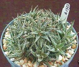 """ALOE HAWORTHIOIDES exotic rare succulent plant clustering cacti cactus 6"""" pot - $46.00"""