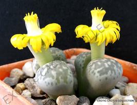 LITHOPS HERMETICA rare mesembs exotic succulent living stones cactus 50 SEEDS - $9.99