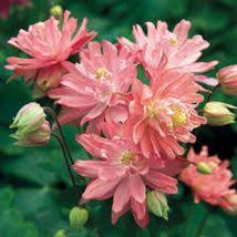 50 Salmon Columbine Flower Perennial Seeds #STL17 - $15.17