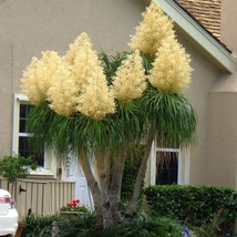 BEAUCARNEA recurvata Ponytail Palm 5 Seeds bonsai garden plants - $11.99
