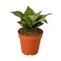 "Snake Plant Black Robusta - 4"" Pot - Houseplants - Garden - Outdoor Living - D11 - $33.99"