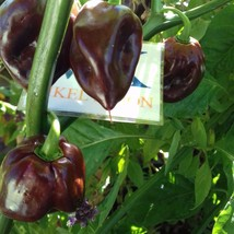 Scotch Bonnet Brown,10 Semillas,Seeds,Capsicum chinense, cosecha propia ... - $2.19