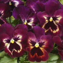 Ship From Us 35 Seeds Matrix Sangria Pansy,Diy Sb Flower Seeds - $27.99