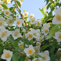 7 Sweet Mock Orange Jasmine seeds-1333 - $2.98