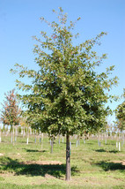 Pin Oak Tree-(quercus palustris) image 2