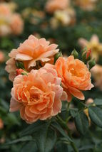 "At Last Rose Bush - 4"" pot - Fragrant, disease-resistant rose! - Proven ... - $37.61"