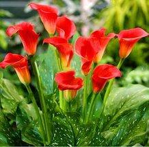 10pcs Dark Orange Calla Lily Seeds Zantedeschia Aethiopica Flower Plant ... - $8.75