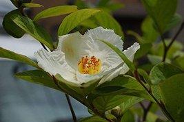 36 pcs/pkt Stewartia Tree Seeds For Planting - $32.67