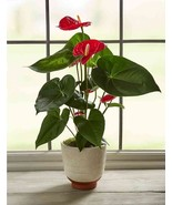 Anthuriums Red  - Live House Plant - Easy to Grow -Cleans the Air Fit 1... - $12.19