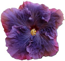 Dinnerplate Hibiscus mallad 50 SEEDS - $21.99