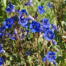 Phacelia Seeds - California Bluebell - Flower Seeds - Starts Nursery - Gardening - $27.50+