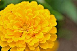 """Zinnia """"Canary Bird"""" 300 Flower Seeds - $15.98"""