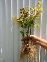DWARF BURNING BUSH bare root  (Euonymus Alatus) image 7