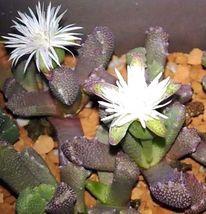 flower cactus Stomatium-alboroseum 10 seeds * Succulent * CombSH - $2.99