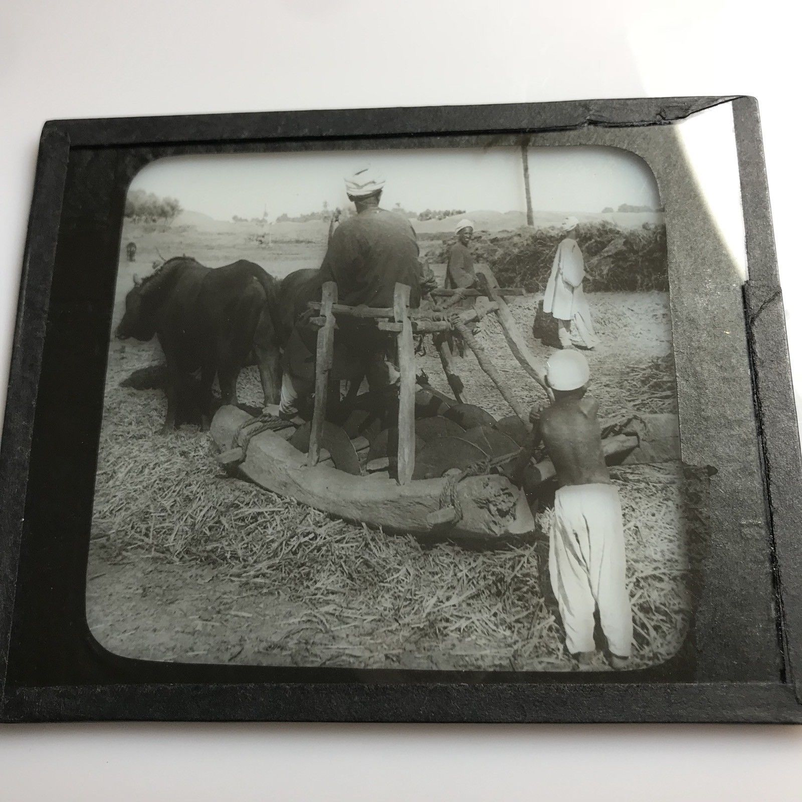 Vtg Keystone Magic Lantern Slide Photo Oxen Threshing Beans Egypt