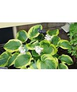 10 Seeds of Olive Bailey Langdon Hosta - Plantain Lily, Funkia - $11.74