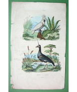 BIRDS White Cockatoo Kamichi Screamer - H/C Color Antique Print - $11.47