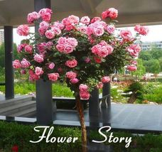 100 Pink Chinese Lovely Rose Tree Plant Seeds Beautiful flowereasy to grow ideal - $7.00