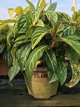 7 Inches Tall Sanchezia speciosa Live Plant For Home Garden - $20.99