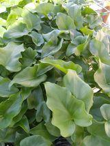 4 Live Plant -  Philodendron Selloum Shangri #ECHA14 - $49.99