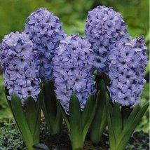 3 Bulbs of Hyacinth Delft Blue - Fragrant Flowers - $39.59
