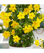 Dipladenia ~ YELLOW Mandevilla ~ Vine Live Plant 8 inches tall or more ~ - $43.99
