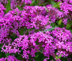 1/4 Pound Seeds of None so Pretty or Catchfly - $41.48