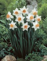 5 White Orange Daffodil Mix Bulbs Garden Hardy Perennial Fall Narcissus ... - $14.99