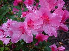 1 Starter Plant of Autumn Royalty Encore Azalea - 2 Gallon - $108.84