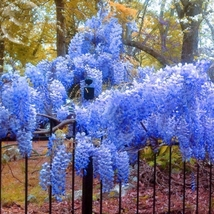 5 Seed Heirloom Blue Yard Chinese Wisteria Climbing Plant, DIY Beautiful... - $8.99