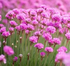 Armeria Maritima Sea Pink 25 seeds perennial CombSH B45 Home and Garden - $13.58