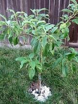 2 Organic Avocado Seeds, Non-GMO, Variety: Hass image 1