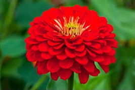 Red Zinnia Seeds, Scarlet Flame, Heirloom Zinnia Seeds, Non-Gmo Flower Seed 75ct - $14.39