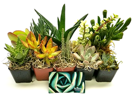 "10 Succulent Plants Collection Fully rooted Growing in 2"" pots - Great G... - $40.35"