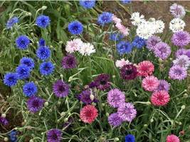 SHIP FROM US 24,000 Dwarf Bachelor Button Mix Seeds, ZG09 - $48.36