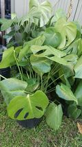 "12"" tall CUTTING Monstera Deliciosa Swiss Cheese Vine Split Leaf Philode... - $27.19"