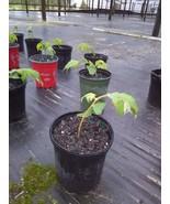 Muntingia Calabura strawberry tree live plant rare 10 pack free shipping - $149.00